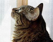 Andee Photography - Look Out Window Tabby Cat
