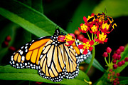 Andee Photography - Monarch Butterfly at lunch with 2 Box Elder Bugs
